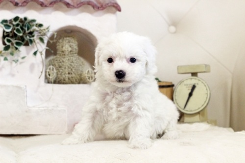 ビションフリーゼの子犬(ID:1255411086)の3枚目の写真/更新日:2018-05-28