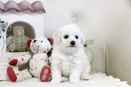 ビションフリーゼの子犬(ID:1255411087)の1枚目の写真/更新日:2018-06-25