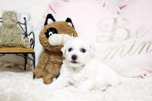 ビションフリーゼの子犬(ID:1255411087)の2枚目の写真/更新日:2018-06-25