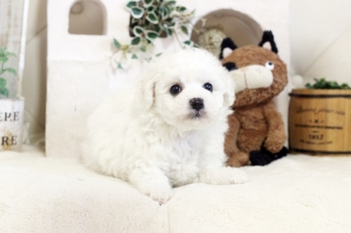 ビションフリーゼの子犬(ID:1255411088)の1枚目の写真/更新日:2018-05-28