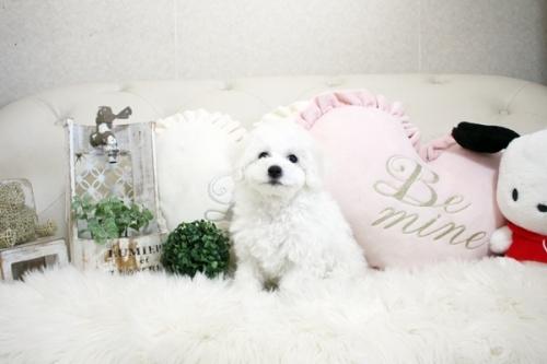 ビションフリーゼの子犬(ID:1255411088)の2枚目の写真/更新日:2018-05-28