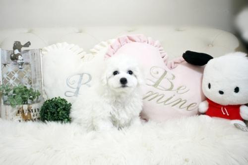 ビションフリーゼの子犬(ID:1255411088)の3枚目の写真/更新日:2021-01-21