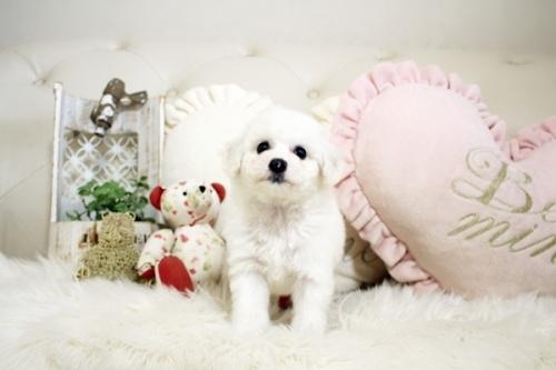ビションフリーゼの子犬(ID:1255411089)の1枚目の写真/更新日:2018-06-25