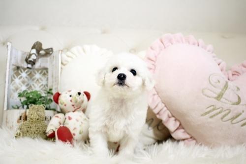 ビションフリーゼの子犬(ID:1255411089)の2枚目の写真/更新日:2018-06-25