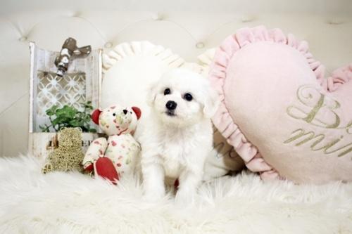 ビションフリーゼの子犬(ID:1255411089)の3枚目の写真/更新日:2018-06-25