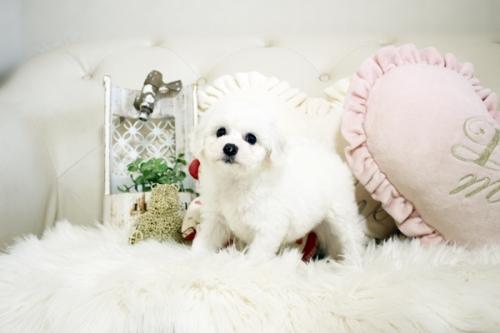 ビションフリーゼの子犬(ID:1255411089)の4枚目の写真/更新日:2021-08-16