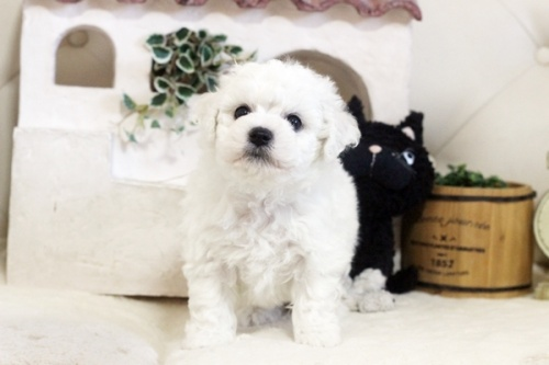 ビションフリーゼの子犬(ID:1255411090)の1枚目の写真/更新日:2018-06-25