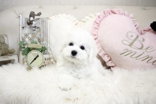 ビションフリーゼの子犬(ID:1255411090)の2枚目の写真/更新日:2018-06-25