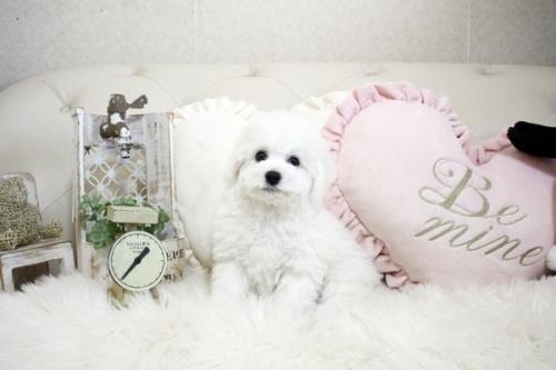 ビションフリーゼの子犬(ID:1255411090)の3枚目の写真/更新日:2018-06-25