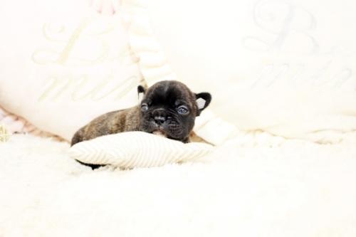 フレンチブルドッグの子犬(ID:1255411091)の2枚目の写真/更新日:2018-08-07