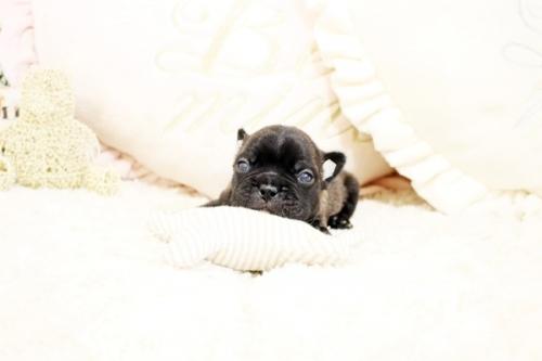 フレンチブルドッグの子犬(ID:1255411091)の3枚目の写真/更新日:2018-08-07