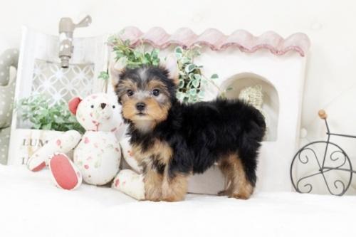 ヨークシャーテリアの子犬(ID:1255411094)の1枚目の写真/更新日:2018-08-24
