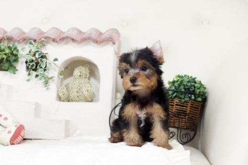 ヨークシャーテリアの子犬(ID:1255411094)の2枚目の写真/更新日:2018-08-24
