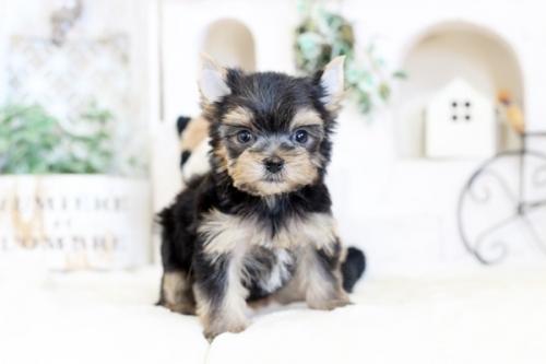ヨークシャーテリアの子犬(ID:1255411099)の1枚目の写真/更新日:2020-02-25