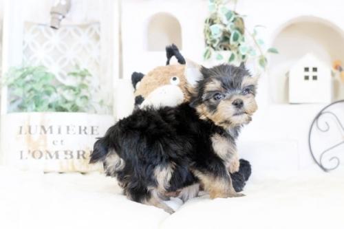 ヨークシャーテリアの子犬(ID:1255411099)の2枚目の写真/更新日:2020-02-25