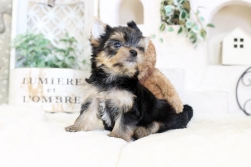 ヨークシャーテリアの子犬(ID:1255411099)の3枚目の写真/更新日:2020-02-25