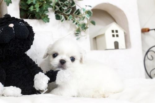 ペキニーズの子犬(ID:1255411101)の2枚目の写真/更新日:2018-11-28