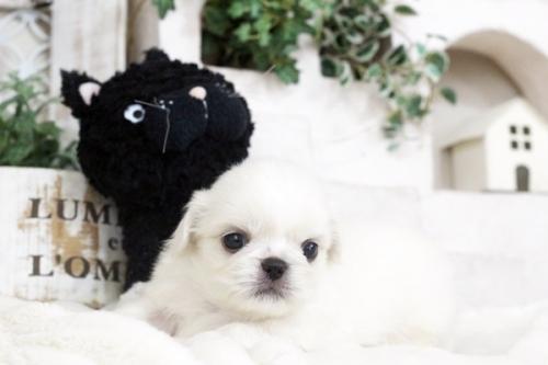 ペキニーズの子犬(ID:1255411101)の3枚目の写真/更新日:2018-11-28