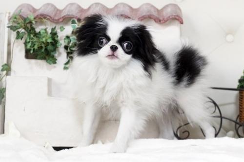 狆(チン)の子犬(ID:1255411102)の1枚目の写真/更新日:2018-08-02