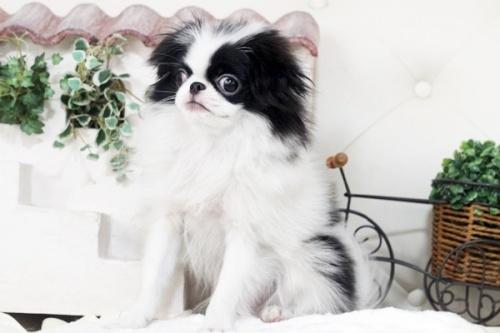 狆(チン)の子犬(ID:1255411102)の2枚目の写真/更新日:2018-08-02