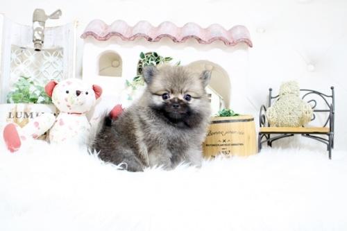 ポメラニアンの子犬(ID:1255411104)の2枚目の写真/更新日:2018-08-24