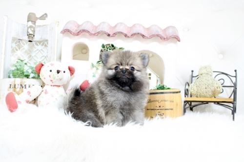 ポメラニアンの子犬(ID:1255411104)の3枚目の写真/更新日:2018-08-24