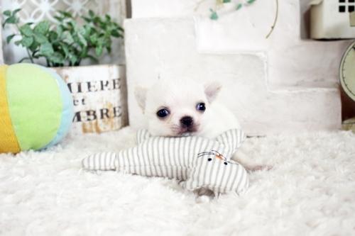チワワ(ロング)の子犬(ID:1255411105)の1枚目の写真/更新日:2020-06-03