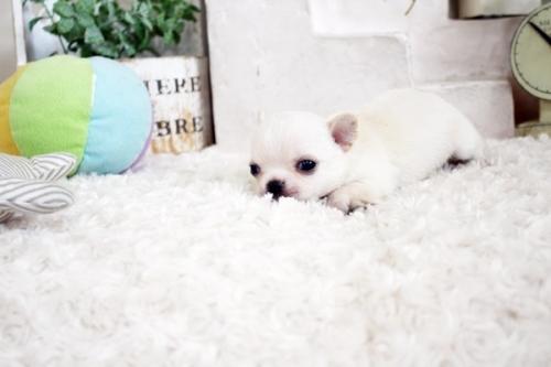 チワワ(ロング)の子犬(ID:1255411105)の2枚目の写真/更新日:2020-06-03
