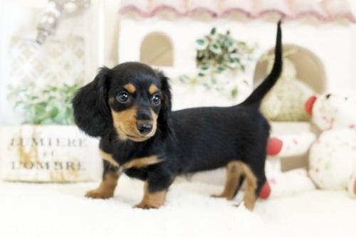 フレンチブルドッグの子犬(ID:1255411107)の1枚目の写真/更新日:2018-05-28