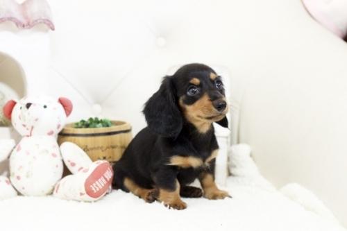カニンヘンダックスフンド(ロング)の子犬(ID:1255411107)の2枚目の写真/更新日:2018-07-24
