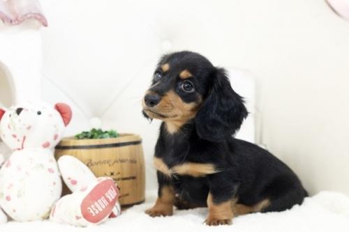 カニンヘンダックスフンド(ロング)の子犬(ID:1255411107)の3枚目の写真/更新日:2018-07-24