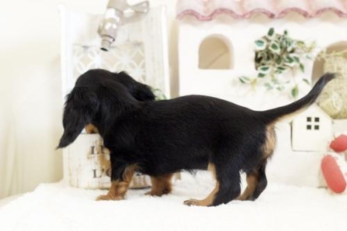 フレンチブルドッグの子犬(ID:1255411107)の4枚目の写真/更新日:2018-05-28