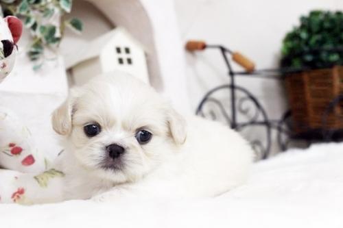 ペキニーズの子犬(ID:1255411110)の1枚目の写真/更新日:2018-11-28