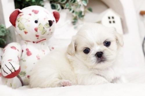 ペキニーズの子犬(ID:1255411110)の2枚目の写真/更新日:2018-11-28