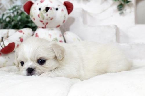 ペキニーズの子犬(ID:1255411110)の3枚目の写真/更新日:2018-11-28