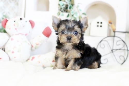 ヨークシャーテリアの子犬(ID:1255411129)の1枚目の写真/更新日:2020-02-25