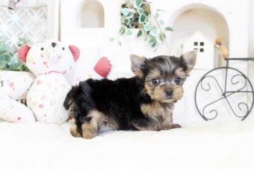ヨークシャーテリアの子犬(ID:1255411129)の2枚目の写真/更新日:2020-02-25