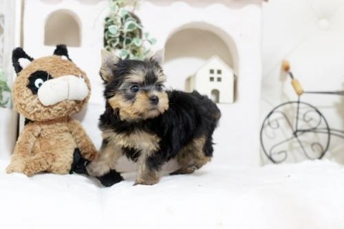 ヨークシャーテリアの子犬(ID:1255411130)の2枚目の写真/更新日:2019-12-28