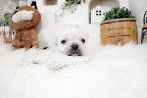 フレンチブルドッグの子犬(ID:1255411132)の1枚目の写真/更新日:2018-05-28