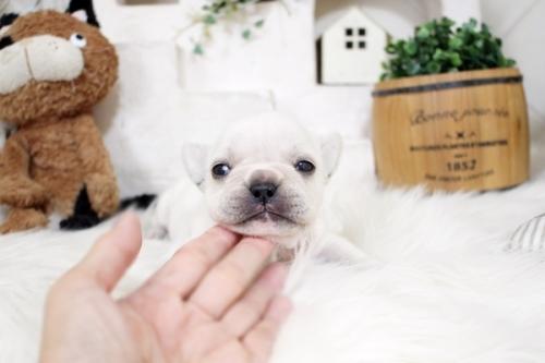 フレンチブルドッグの子犬(ID:1255411132)の2枚目の写真/更新日:2018-05-28
