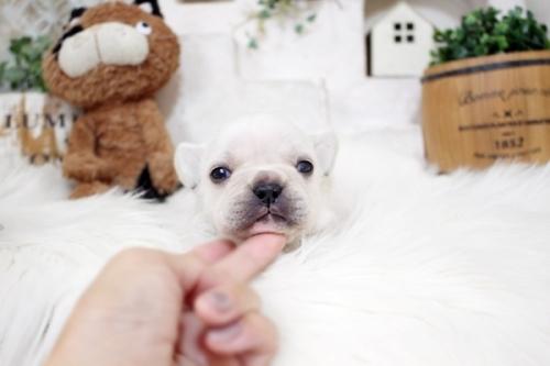 フレンチブルドッグの子犬(ID:1255411132)の3枚目の写真/更新日:2018-05-28