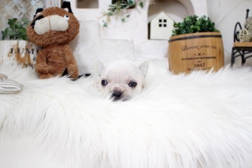 フレンチブルドッグの子犬(ID:1255411132)の4枚目の写真/更新日:2018-05-28