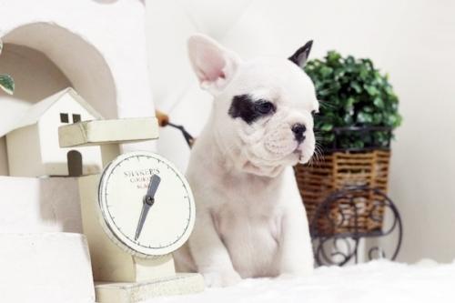 フレンチブルドッグの子犬(ID:1255411133)の2枚目の写真/更新日:2018-11-23