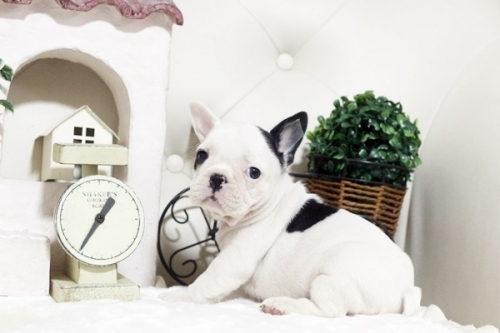 フレンチブルドッグの子犬(ID:1255411133)の3枚目の写真/更新日:2018-11-23