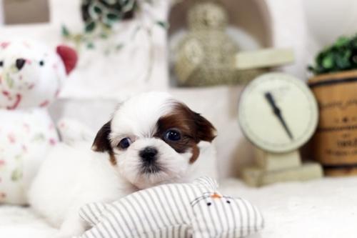 シーズーの子犬(ID:1255411136)の1枚目の写真/更新日:2021-03-06