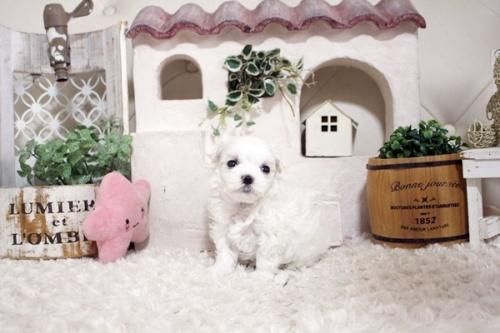 マルチーズの子犬(ID:1255411139)の1枚目の写真/更新日:2021-10-05