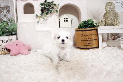 マルチーズの子犬(ID:1255411139)の2枚目の写真/更新日:2021-10-05