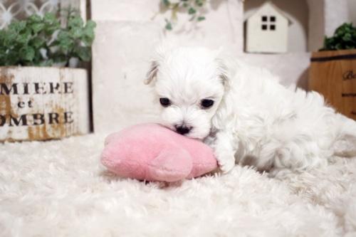 マルチーズの子犬(ID:1255411139)の3枚目の写真/更新日:2021-10-05