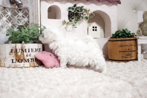 マルチーズの子犬(ID:1255411139)の4枚目の写真/更新日:2021-10-05