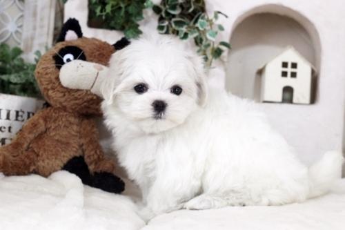 マルチーズの子犬(ID:1255411140)の2枚目の写真/更新日:2018-12-07